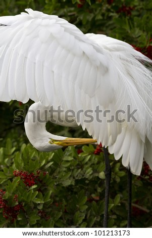 Great egret in breeding plumage, wings open.  Location is Florida, USA.  Pose is elegant and courtly.