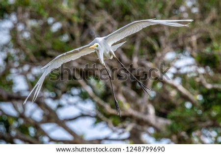 Great Egret in flight. Front view. Scientific name: Ardea alba. Also known as the common egret, large egret or (in the Old World) great white egret or great white heron.