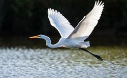 Great Egret in flight over water