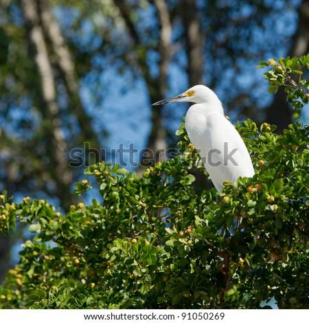 Great Egret in Florida Keys