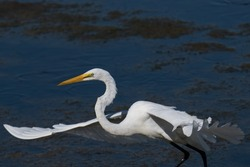 Great egret in marsh lands. Also known as the common egret, or great white egret or great white heron is a large, widely distributed egret.