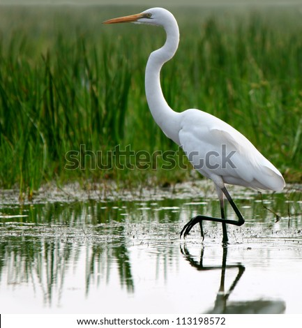 Great Egret in shallow water of tropical grassland