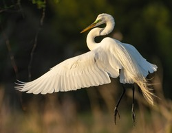 Great Egret in the early morning light.