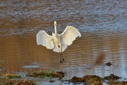 Great egret in the morning sun in upper lusatia