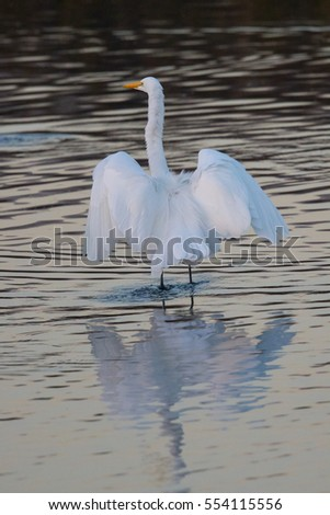 Great egret in the wild in North California #554115556
