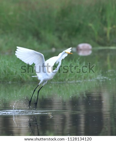 Great Egret / Large Egret