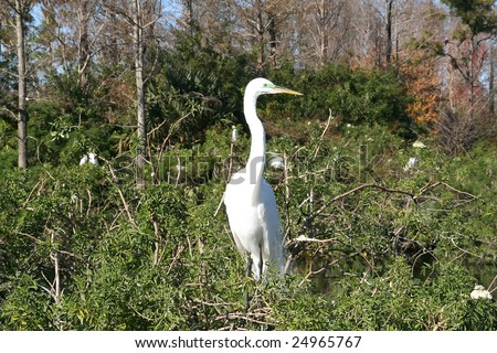 Great Egret located in the Florida Everlades