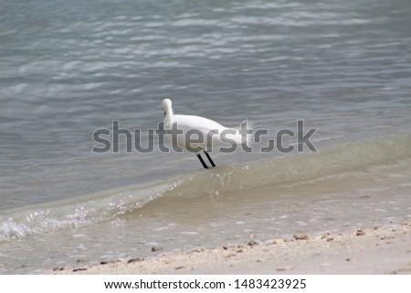 Great Egret on Pepper Park Beach shoreline Fort Pierce Florida