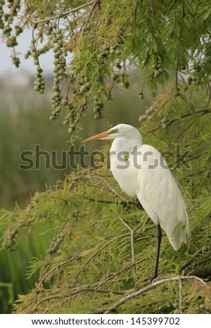 Great Egret Perched in a Bald Cypress Tree