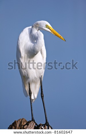 great egret posing nicely on tree stump in florida wetland against blue sky background
