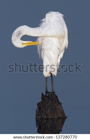Great Egret Preening while perched on a stump in blue water.