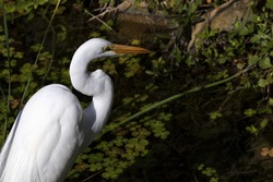 Great Egret, symbol of National Audubon Society, at ease in natural wetland environment surrounding South Padre Island Birding and Nature Center.