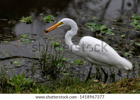 Great egret with a fish in its beak #1418967377