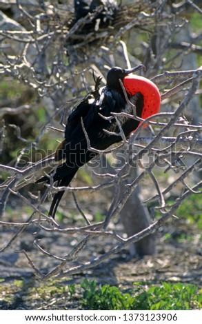 Great Fregatebird male