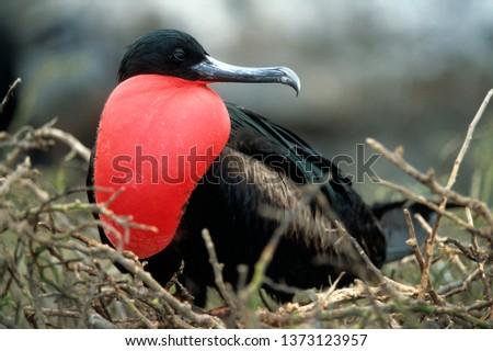 Great frigatebird male
