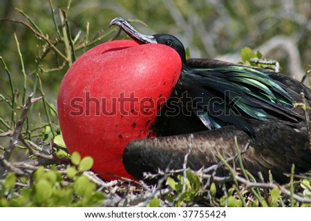Great frigatebird male, North Seymour Island breeding colony, Galapagos