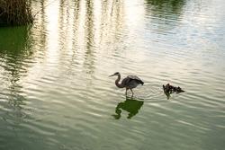 Great gray heron (Ardea cinerea) hunting, Central Park, Fremont