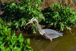 Great gray heron (Ardea cinerea) is fishing, Central Park, Fremont