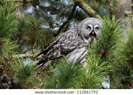 great gray owl - stock photo