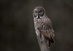 Great Gray Owl in Canada