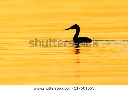 Great Grebe (Podiceps major) with a drop dripping of its beak, swimming on a lake under golden light right before twilight. Patagonia, Argentina, South America.