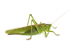 great green bush cricket (Tettigonia viridissima)