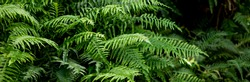 great green bush of fern in the forest.Ferns leaves green foliage. Tropical leaf. Exotic forest plant. Botany concept. jungles.