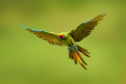 Great green macaw, Ara ambiguus, also known as Buffon's macaw. Wild tropical forest bird, flying with outstretched wings against green vegetation. Big parrot in habitat. Endangered bird in green.