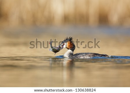 great grested grebe