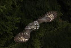 great grey owl flying in dark forest, attractive scene with great grey owl flying in the dark forest