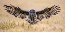 Great Grey Owl foraging in the forest