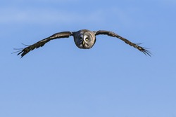 Great Grey Owl in the sky. A magnificent great grey owl flies against a clear blue sky.