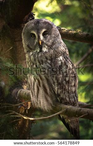 Great Grey Owl (lt. Strix nebulosa) Stock fotó ©