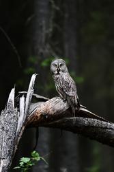 Great Grey Owl on a fallen tree in forest