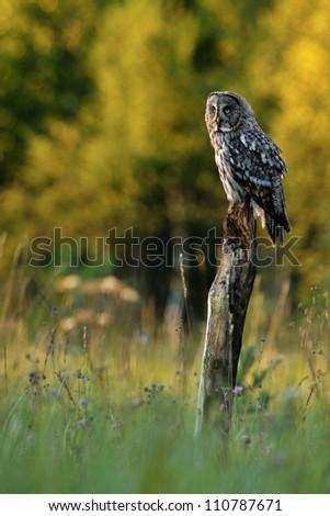 Great grey owl on tree