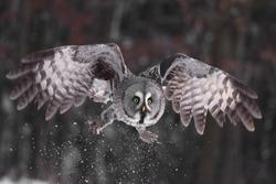Great Grey Owl or Lapland Owl lat. Strix nebulosa