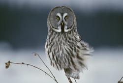 Great grey owl sitting in snowy landscape, closeup