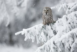 Great Grey Owl Srix nebulosa in snowy woods