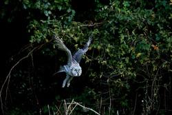 GREAT GREY OWL strix nebulosa, ADULT IN FLIGHT