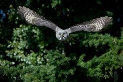 Great Grey Owl, strix nebulosa, Adult in Flight