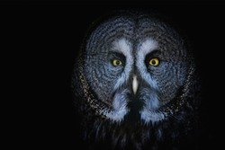 Great Grey Owl (Strix nebulosa) Detail portrait on the black background