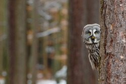 Great grey owl, Strix nebulosa, hidden behind tree trunk in the winter forest, portrait with yellow eyes. Funny image from nature.
