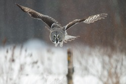 Great Grey Owl (Strix nebulosa) hunting in Finland in winter.