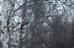 Great-Grey Owl (Strix nebulosa) in Birch tree, Norway
