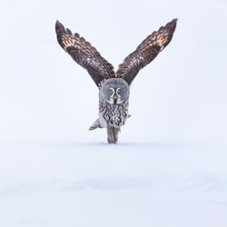 Great Grey owl (Strix nebulosa) in Finland, Europe