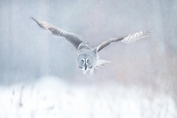 Great Grey Owl (Strix nebulosa) in flight, Finland in winter.