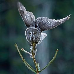 Great grey owl (Strix nebulosa) in its natural habitat