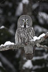 Great-grey owl, Strix nebulosa, single bird on branch, Finland