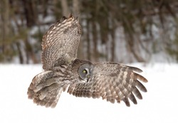 Great grey owl (Strix nebulosa) with wings spread out in flight over a snow covered field in Canada