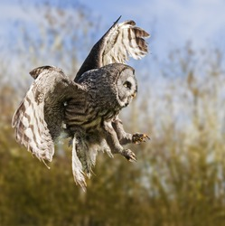 Great Grey Owl with talons poised. A great grey owl is ready to strike.
